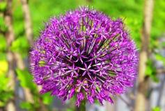 Allium porpora di fioritura Immagine Stock Libera da Diritti