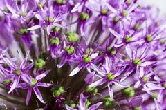 Allium porpora di sensazione Fotografia Stock