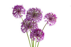Allium porpora di sensazione Fotografie Stock Libere da Diritti