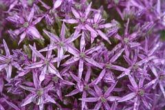 Allium porpora nel giardino dopo la pioggia Immagine Stock