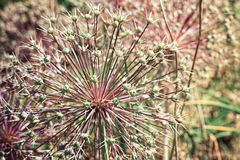 Allium prickles Stock Photos