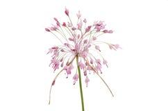 Allium Pulchellum flowerhead. Isolated against white Stock Images