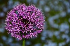 Allium purpere bloem stock foto's
