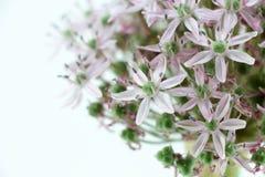 Allium purple bulb, blurred Stock Photography