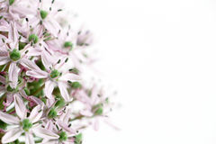 Allium purple bulb, blurred Royalty Free Stock Photos