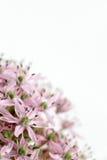Allium purple bulb, detail Stock Image