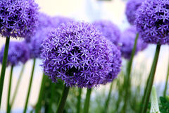 Allium purple bulbs. Allium decorative bulbs bloosom in summer time with large purple colors flower Stock Images
