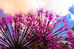 Allium. Purple allium flowers against the skyline Stock Images