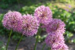 Allium purple flowers Royalty Free Stock Photo