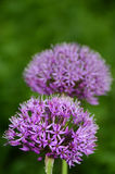 Allium purple flowers Royalty Free Stock Photography