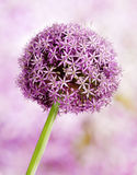 Allium, Purple garlic flowers Royalty Free Stock Photo