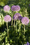 Allium purple round flowers Royalty Free Stock Photos