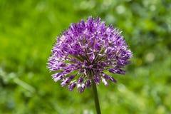 Allium Purple Sensation Flower Macro on Blurred Background stock image