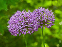 Allium Purple Sensation in the Garden. A purple bloom about the size of a baseball with hundreds of small blooms on the ball-like flower Royalty Free Stock Image