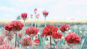 Allium red toned, field background Royalty Free Stock Photography