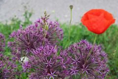 Allium rojo p?rpura de las flores foto de archivo