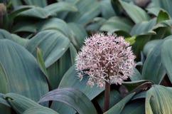 Allium rosa-chiaro Fotografia Stock