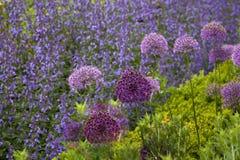 Allium & salvia di fioritura Fotografia Stock Libera da Diritti