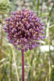 Allium sativum, il nome scientifico del fiore dell'aglio Fotografie Stock