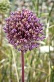 Allium sativum, il nome scientifico del fiore dell'aglio fotografie stock