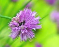 Allium schoenoprasum Stock Photo