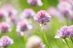 Allium schoenoprasum Fotografie Stock