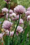 Allium schoenoprasum fotografia stock