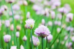 Allium schoenoprasum Fotografia Stock Libera da Diritti