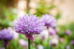 Allium schoenoprasum Immagine Stock Libera da Diritti