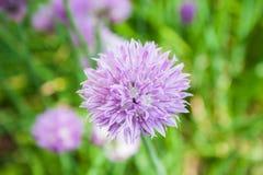 Allium schoenoprasum Immagini Stock Libere da Diritti