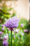 Allium schoenoprasum Immagine Stock