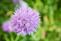 Allium schoenoprasum Immagini Stock