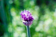 Allium Schoenoprasum (cebola) foto de stock