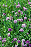 Allium schoenoprasum Royalty Free Stock Image