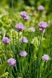 Allium Schoenoprasum conocido como cebolletas Imagen de archivo