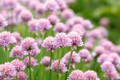 Allium Schoenoprasum conosciuto come la erba cipollina Fotografia Stock Libera da Diritti