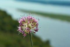 Allium schoenoprasum del fiore in una sponda del fiume Fotografie Stock Libere da Diritti