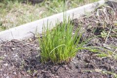 Allium schoenoprasum della erba cipollina Immagine Stock