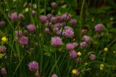 Allium schoenoprasum della erba cipollina Immagini Stock Libere da Diritti