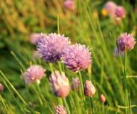 Allium schoenoprasum della erba cipollina Fotografia Stock