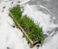 Allium schoenoprasum della erba cipollina in neve dopo le precipitazioni nevose della molla Immagine Stock