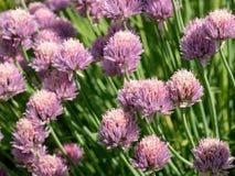 Allium schoenoprasum della erba cipollina della pianta dell'erba Profondità bassa di fie Immagini Stock