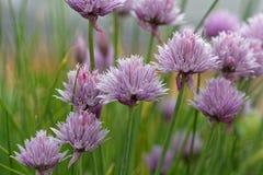 Allium schoenoprasum di flwoers della erba cipollina Fotografia Stock Libera da Diritti