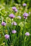 Allium Schoenoprasum die als Bieslook wordt bekend Stock Afbeelding
