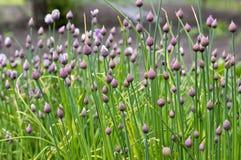 Allium schoenoprasum, erba cipollina di aglio, erba cipollina cinese in fioritura Immagini Stock Libere da Diritti