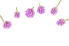 Allium schoenoprasum, fiore della erba cipollina Fotografie Stock