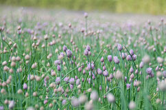 Allium schoenoprasum flowers Royalty Free Stock Photo