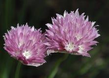 Free Allium Schoenoprasum Forescate Stock Images - 2594924