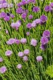 Allium schoenoprasum gigante Sibiricum della erba cipollina Fotografia Stock Libera da Diritti
