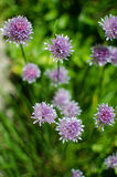 Allium Schoenoprasum onion with purple flower is a decorative Royalty Free Stock Photography